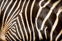 Natural texture of the skin of an African zebra. Royalty Free Stock Photos
