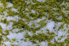 A natural textured background of green grassy moss with snow Royalty Free Stock Images