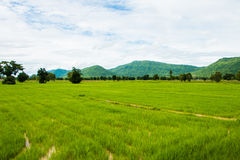 Natural Thai rice field. Natural rice field and blue sky at the rural of Thailand Royalty Free Stock Image