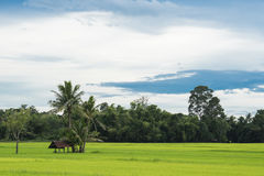Natural Thai rice field with farmer's hut under coconut tree, look from the angle of sight Royalty Free Stock Photos