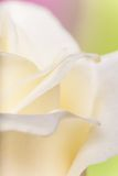 Natural tint yellow roses background Royalty Free Stock Images