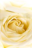 Natural tint yellow roses background Royalty Free Stock Photography