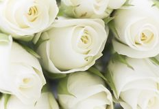 Natural tint yellow roses background Stock Photo