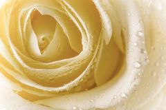 Natural tint yellow roses background Stock Image