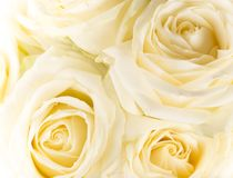 Natural tint yellow roses background Royalty Free Stock Photo