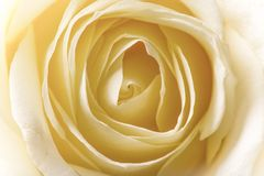 Natural tint yellow roses background Royalty Free Stock Image