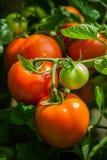 Natural tomato from a bush. stock photos