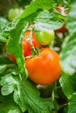 Natural tomato from a bush stock photography