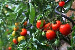 Natural tomatoes Royalty Free Stock Photo