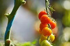 Natural tomatoes growing on a branch in a greenhouse. Ripe natural tomatoes growing on a branch in a greenhouse Stock Photography