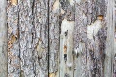 Natural tree bark plank texture background Royalty Free Stock Photo