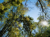 Natural. Tree green forest royalty free stock image