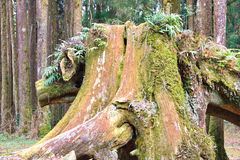 Natural tree sculpture. At Alishan National Park, Taiwan Royalty Free Stock Photography