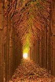 Natural tree tunnel. A natural tree tunnel formed in a Paulownia plantation with nice perspective stock photography