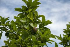 A natural tropical fruit growing on a tree in Asiaю Stock Photos