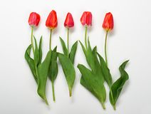 Natural tulips flowers on white background - love and holiday concept Royalty Free Stock Images