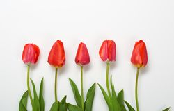 Natural tulips flowers on white background - love and holiday concept Royalty Free Stock Photography