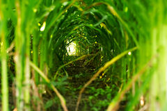 Natural tunnel. The stalk of corn forms a tunnel Royalty Free Stock Photo
