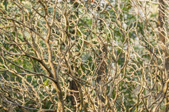 Natural twigs background Royalty Free Stock Photos