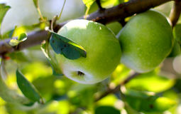 Natural two yellow gren apple on a branch tree Royalty Free Stock Image