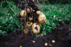 Natural vegetable fresh agriculture food. Raw green potato in the ground Stock Photography