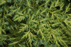 Natural vegetal background. Two-colored juniper. Is light and dark green stock photos