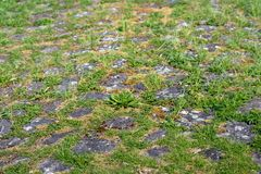 Natural vegetation between cobblestones. On the top of a Dutch dike on a sunny day in the spring season Stock Images