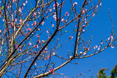 Natural Vietnamese mountainous peach blossoms in early Spring. Stock Photo