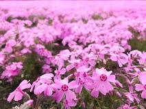 Natural view of beautiful pink moss phlox shiba-sakura field in shibazakura festival in front of Mt Fuji, Fujikawaguchiko, royalty free stock photo