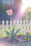 Natural view of tulip flower bloom in garden with green grass as nature background.  Stock Photo