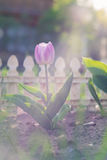 Natural view of tulip flower bloom in garden with green grass as nature background.  Stock Photography