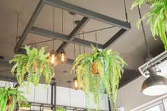 Natural and vintage light bulb interior with hanging fern pot in cafe for relaxation royalty free stock photography
