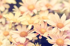 Natural vintage pale yellow flowers background. Natural vintage pale yellow Chrysanthemum flowers background Royalty Free Stock Photography
