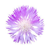 Natural violet cornflower flower isolated Royalty Free Stock Image