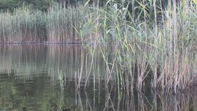 Natural Lake With Reed And Reflection stock video footage