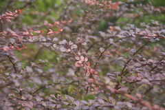 Natural Wallpapers of beautiful Burgundy branches. Long branches with small round leaves have a maroon tint. Grow on the lawn. Nicely bent to one side. Natural Royalty Free Stock Photos
