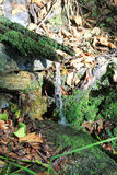 Natural Water Spring. In the forest. The water is falling down from tree bark covered with moss Stock Image