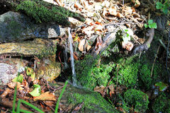 Natural Water Spring. In the forest. The water is falling down from tree bark covered with moss Stock Photo