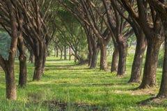 Natural way with Samanea saman, Big rain tree Royalty Free Stock Image