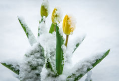 Natural weather anomaly, snow covered tulip flowers. Spring yellow tulips in the snow. Flowers looking through the snow. Stock Photo