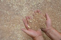 Natural wheat grains Royalty Free Stock Images