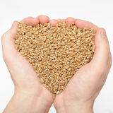Natural wheat grains in hand Royalty Free Stock Images