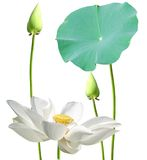 Natural whit lotus flowers Royalty Free Stock Photo