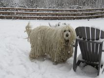 Commodor Breed Dog = Komondor in Snow Dec 25, 2017 royalty free stock photo