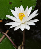 Natural white. Natural flower white so beautiful and freshing Stock Photography