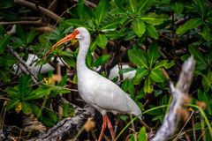 A natural white Ibis in Sanibel Island, Florida. A portrait shot of a wading bird taking a stroll in the forest of in Ding Darling National Wildlife Refuge stock photos