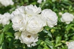 Natural white rose flower. Close up on green bush Royalty Free Stock Images