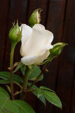 Natural white rose flower close up on green bush Stock Photography