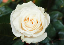 Natural white rose flower on green bush Royalty Free Stock Photography