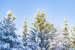 Natural white snow, hoarfrost on the branches, the needles of Siberian pine,spruce in dark coniferous forest, Royalty Free Stock Image